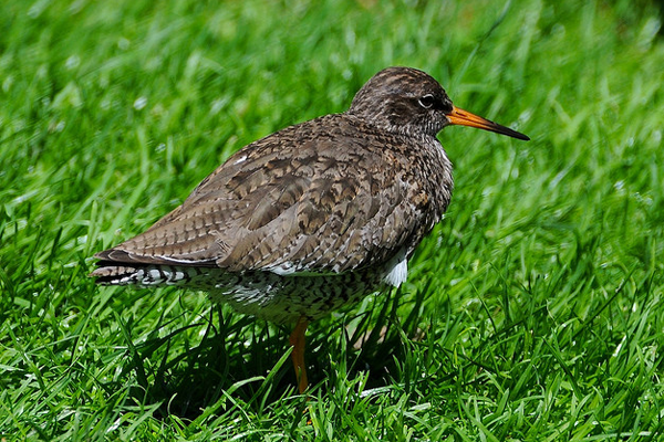 redshank bird photo grass grazing