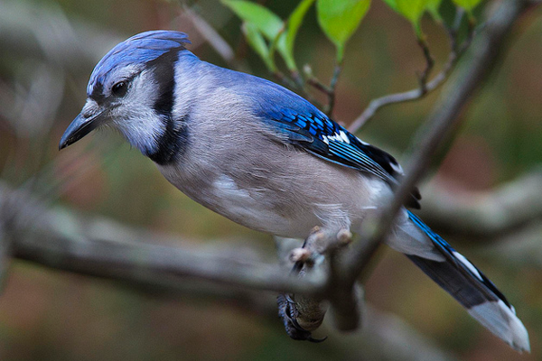 photograph nature spring bluejay bird