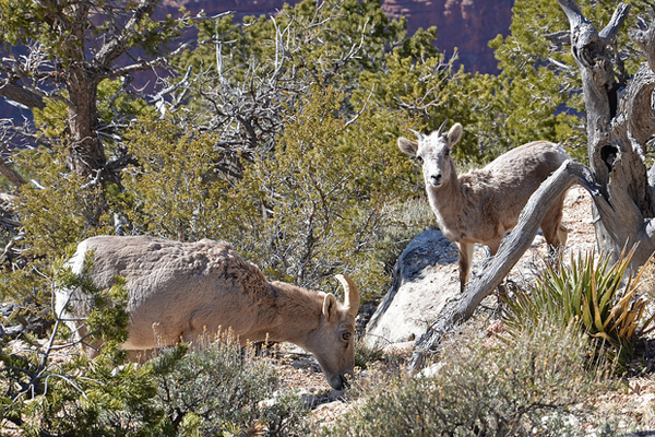 big horned sheep photograph grand canyon
