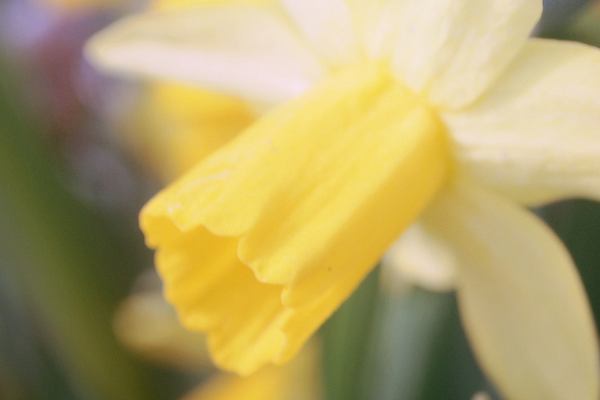 daffodil flowers yellow cup photo