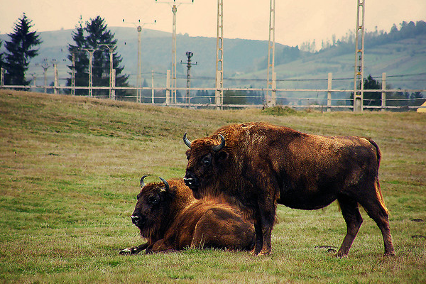 wild bison out on a stroll bulls