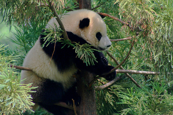 cute baby panda bear in a tree