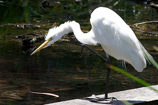 nature preserve bird great egret lake