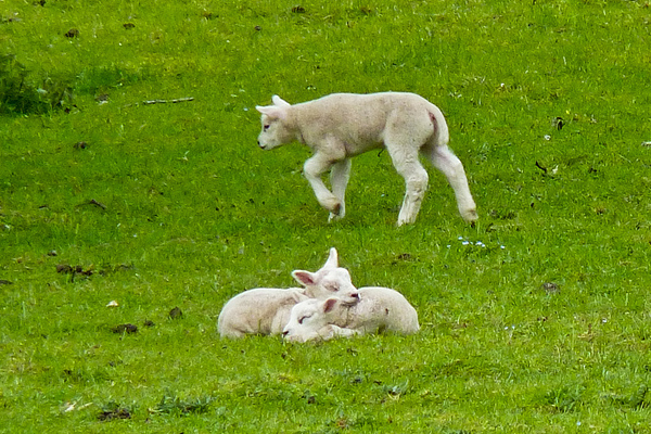 spring farm land baby sheep lambs