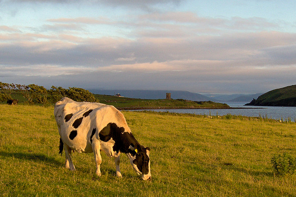 springtime ireland cow grazing sunset photograph