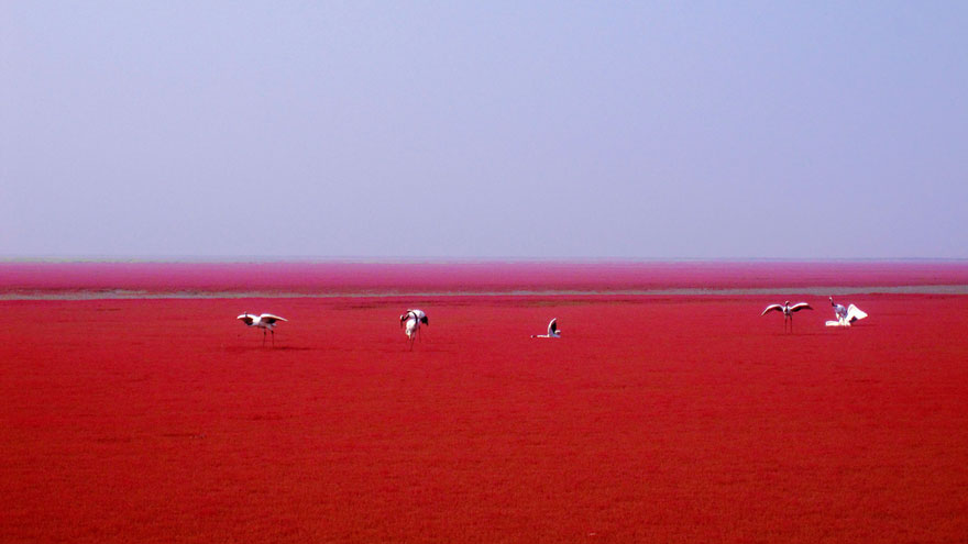 panjin-red-beach-china-7