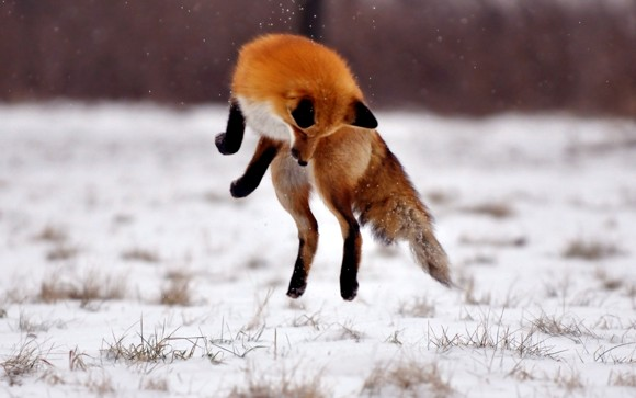 13 Quick Brown Fox Jumps Over a... Nothing but Snow 2560x1600