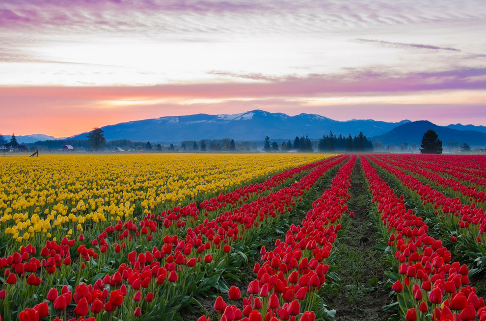 Skagit Valley Tulip Fields, United States