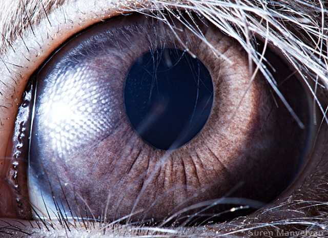 560 e1402420387642 Macro Photography Of Animal Eyes   Suren Manvelyan