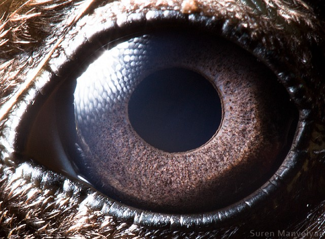 562 e1402421036307 Macro Photography Of Animal Eyes   Suren Manvelyan