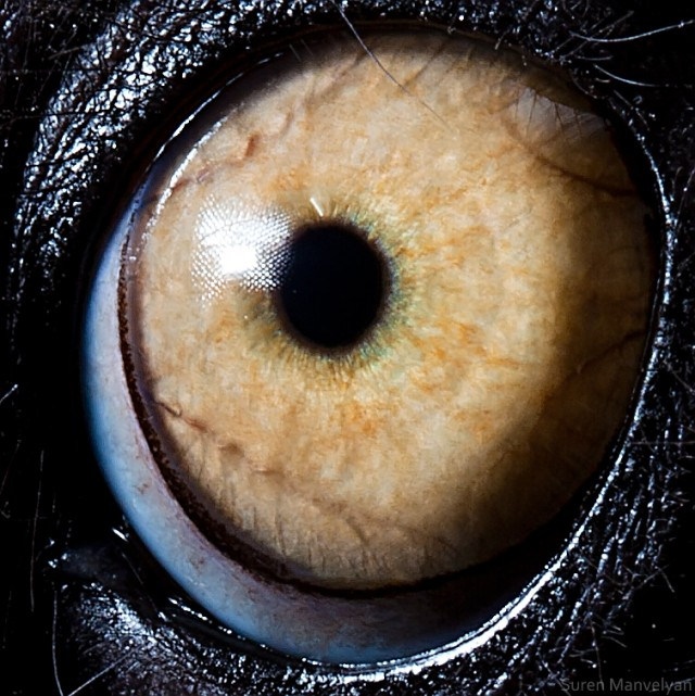 63 e1402417159765 Macro Photography Of Animal Eyes   Suren Manvelyan