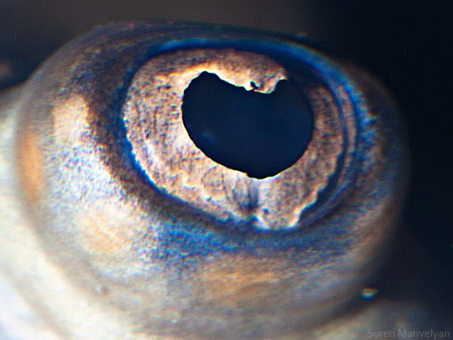 66 e1402417466961 Macro Photography Of Animal Eyes   Suren Manvelyan