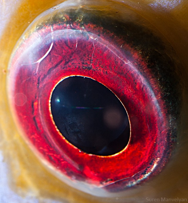67 e1402417568289 Macro Photography Of Animal Eyes   Suren Manvelyan