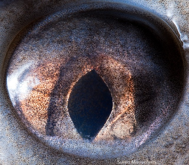69 e1402417745908 Macro Photography Of Animal Eyes   Suren Manvelyan
