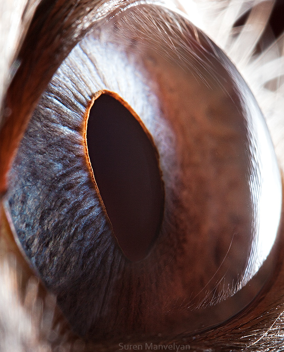 74 Macro Photography Of Animal Eyes   Suren Manvelyan