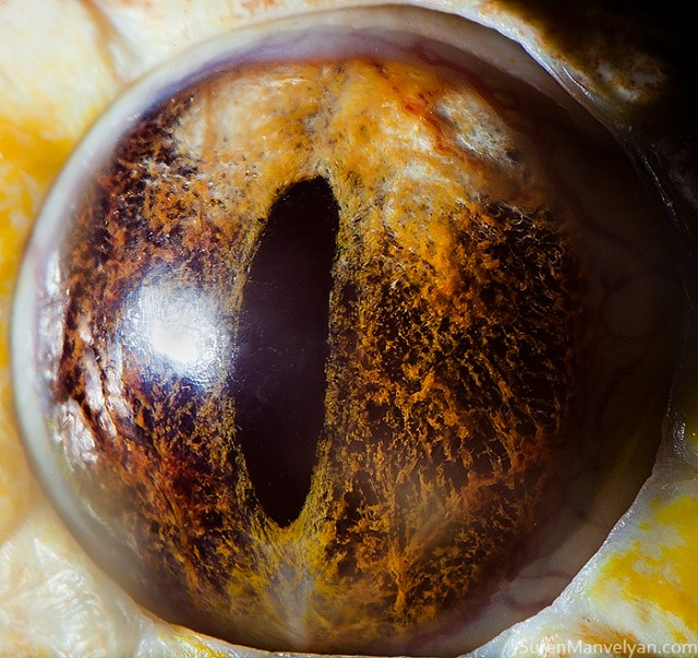 75 e1402418133926 Macro Photography Of Animal Eyes   Suren Manvelyan