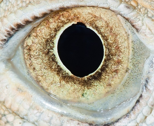 77 e1402418337669 Macro Photography Of Animal Eyes   Suren Manvelyan
