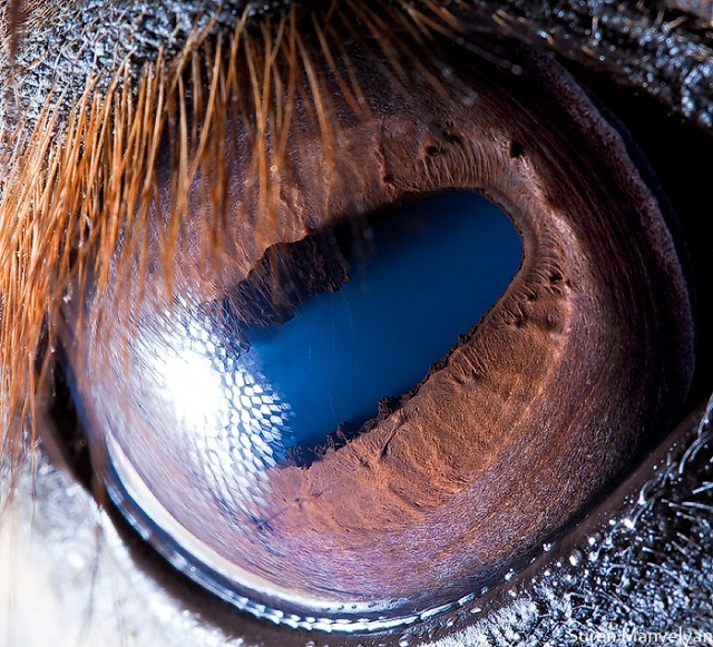78 e1402418950186 Macro Photography Of Animal Eyes   Suren Manvelyan
