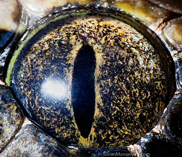 83 e1402419984373 Macro Photography Of Animal Eyes   Suren Manvelyan