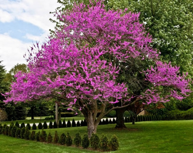 beautiful trees violet