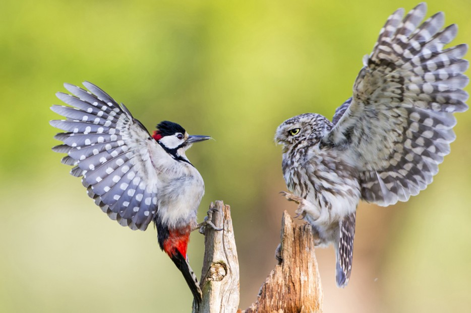 An%20owl%20and%20a%20woodpecker%20attempt%20to%20intimidate%20one%20another.%20