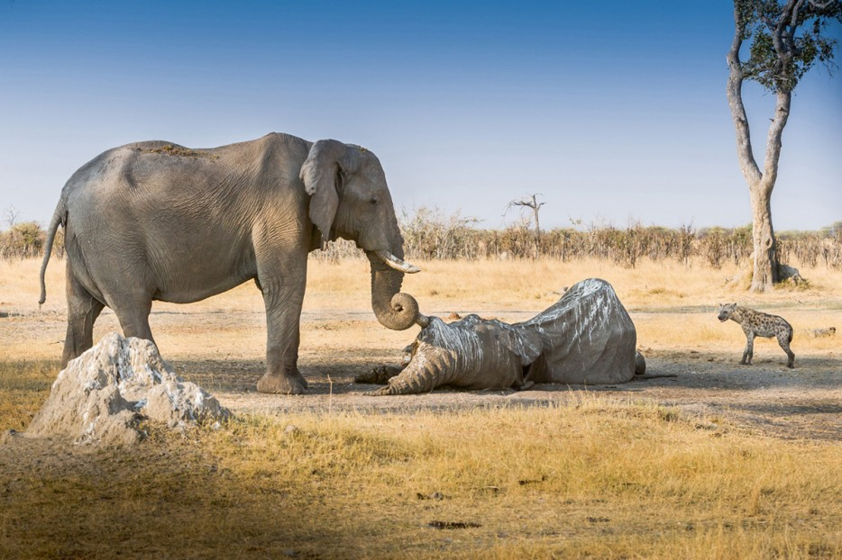 An%20elephant%20guards%20the%20body%20of%20a%20fallen%20friend%20from%20scavengers.