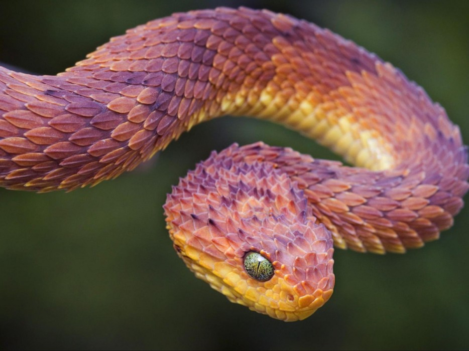 The%20breathtaking%20african%20bush%20viper%20is%20well%20known%20for%20its%20beautifully%20colored%20scales.