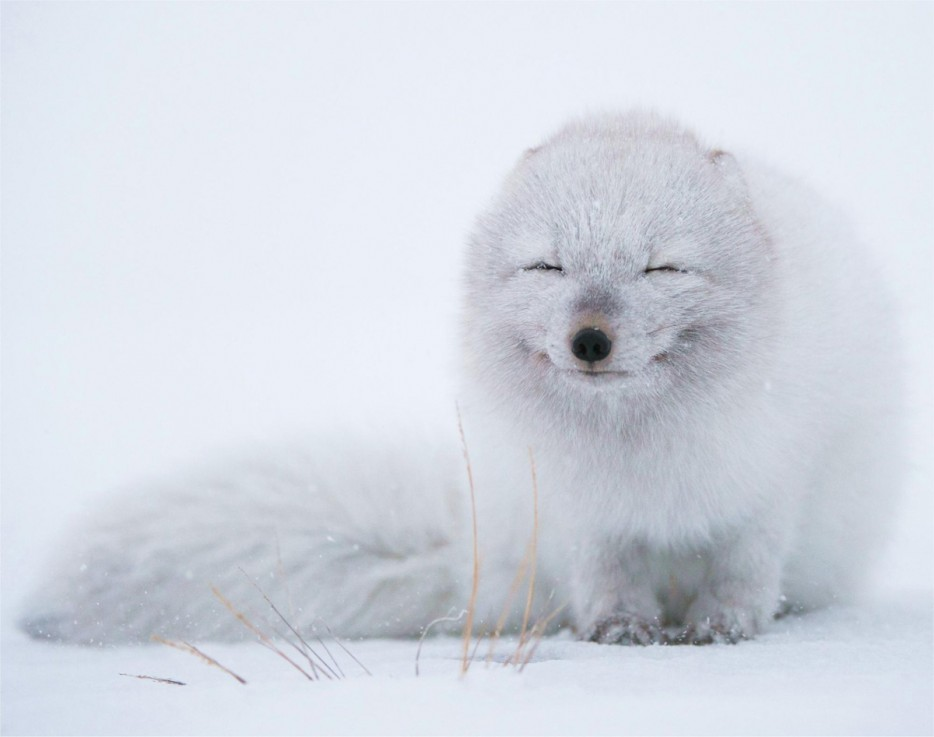 An%20arctic%20fox%20enjoys%20the%20snowfall.