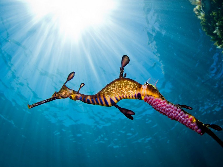 The%20vibrant%20weedy%20seadragon%20carries%20fertilized%20eggs.