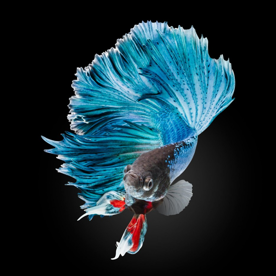 An%20elegant%20blue%20half-moon%20betta%20fish.