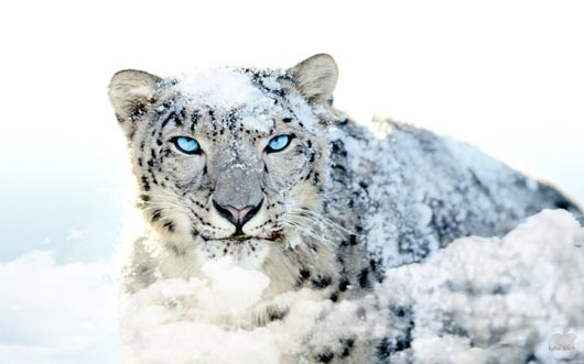 EgFox Snow Leopard HD Blue Eye Best HD Wallpapers Will Enhance Look of Desktop