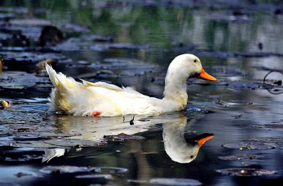 Reflections of a white duck swimming in a pond