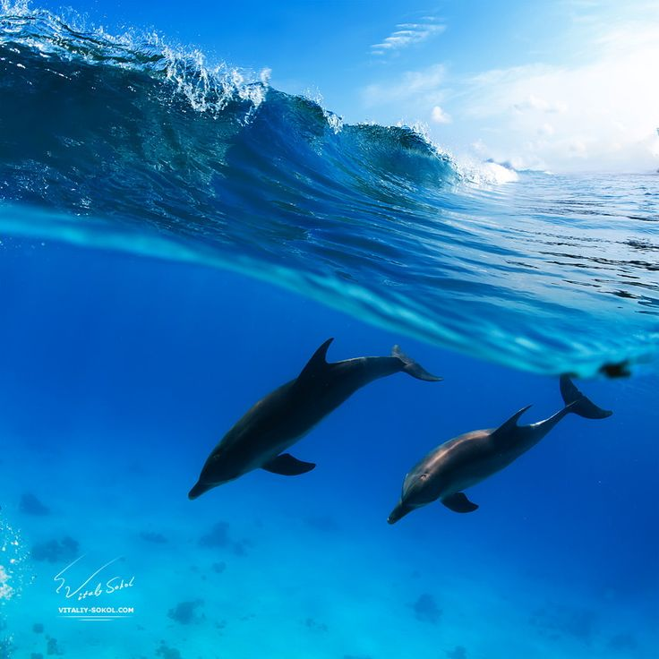 Two dolphins diving under wave by Vitaliy Sokol