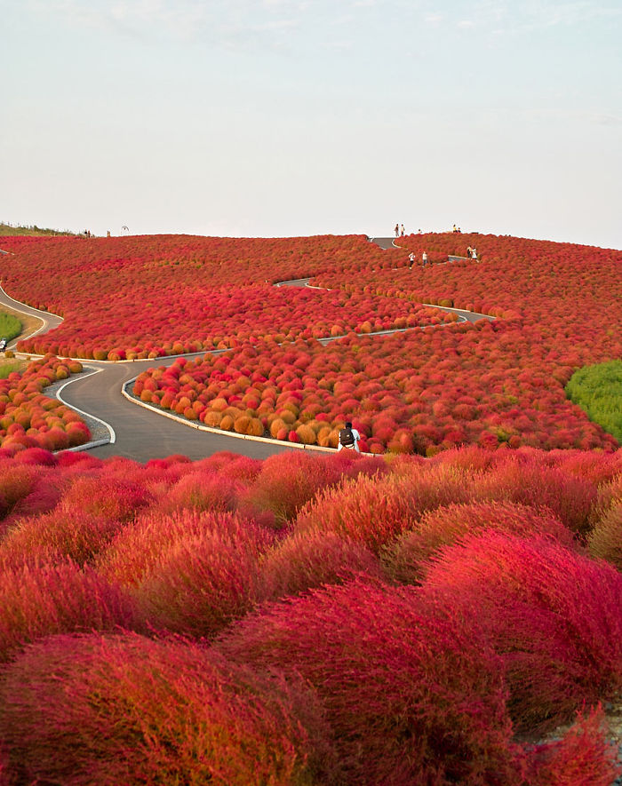 Autumn In Hitachi Seaside Park